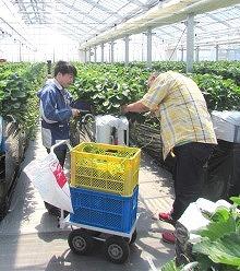 いちご農園2014GWランナー3
