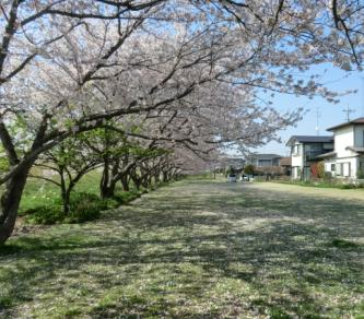 4月7日桜