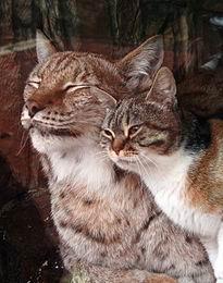 動物園のヤマネコに恋をして