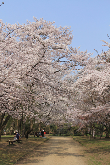 弘前桜祭り2014(1)-5