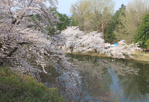 弘前桜祭り2014(1)-11