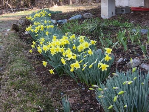 家の前の水仙も咲きました(500x375)