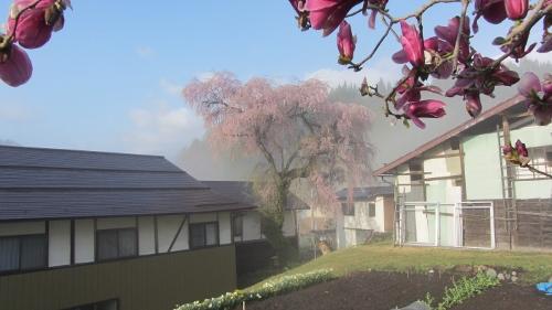 堀の内にあるしだれ桜