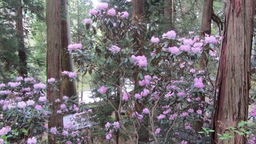 神明宮の石楠花