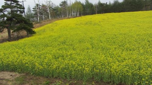 中山高原の菜の花畑も見てきました