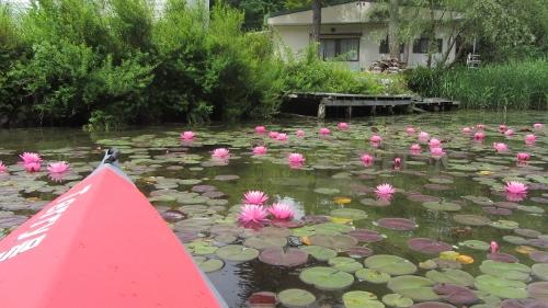 1木崎湖南端の蓮の花 (500x281)