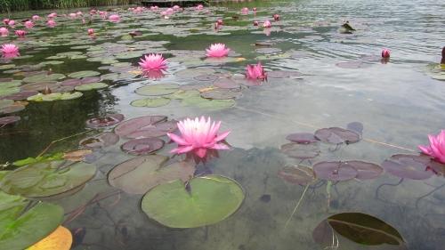 2木崎湖南端の蓮の花 (500x281)