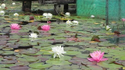 3木崎湖南端の蓮の花 (500x281)