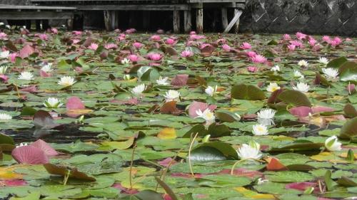 4木崎湖南端の蓮の花 (500x281)