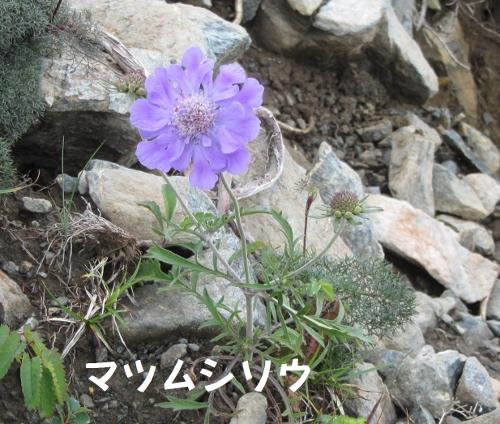 見事な美しい高山植物 (500x424)