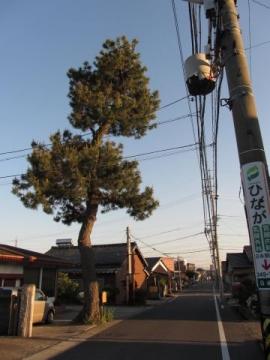 東海道名残の一本松