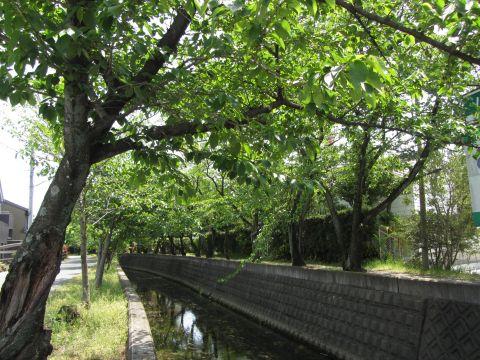 十四川堤の桜並木
