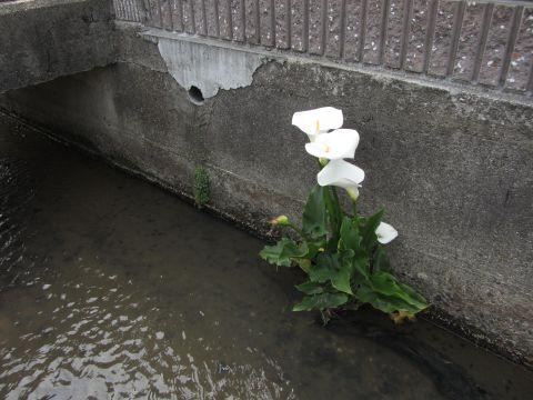 朝日町柿の用水路にて