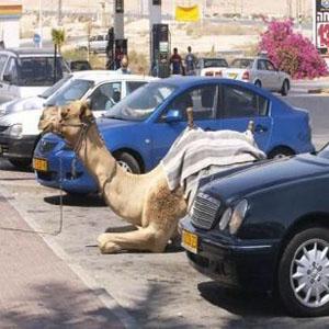 駐車するラクダ