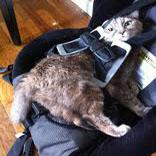チャイルドシートに座る猫