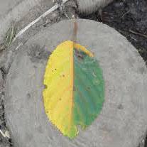 枯れ葉の初心者マーク
