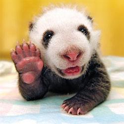 手を挙げる子供パンダ