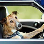 漫然運転をする犬