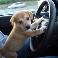 無免許で運転する犬