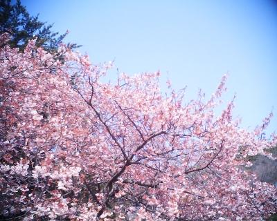 寒桜・新宿御苑:R2