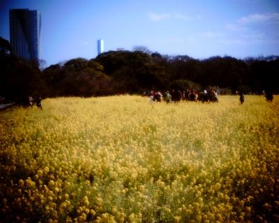 黄色い菜の花畑:旧浜離宮庭園:Entry