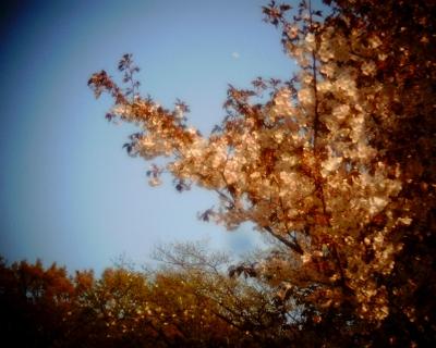 十日月と桜:砧緑地公園:Entry