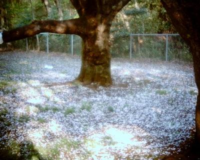 散り敷く桜:Entry