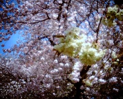 緑の桜・御衣黄:Entry
