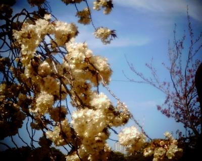 黄色の桜・鬱金:Entry
