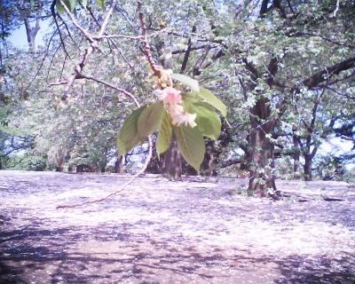 緑色の桜・御衣黄は:Entry