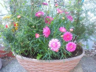 鉢植えピンク2