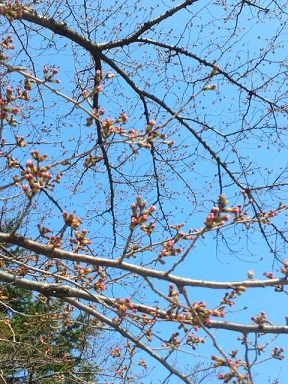 元町公園桜1