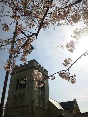 桜3291