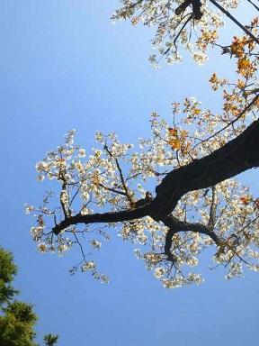 小屋の前の桜