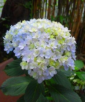 0609紫陽花
