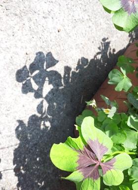 クローバーの影