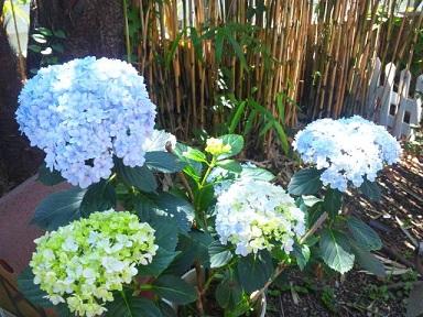 紫陽花の成長1