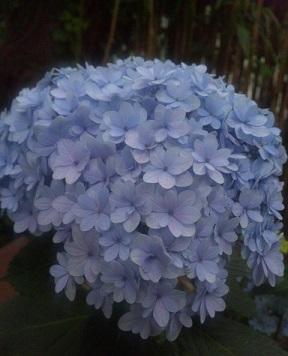 紫陽花の成長3