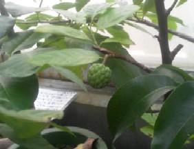 ジャンボシャカトウの幼果B