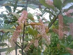 makadamianutsflower.jpg