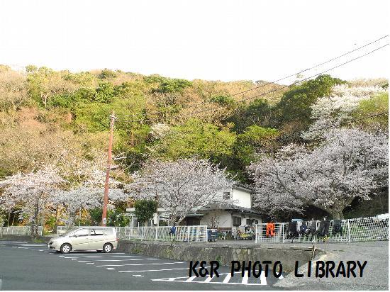 3月29日大瀬崎の桜1