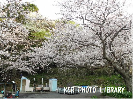 3月29日大瀬崎の桜2