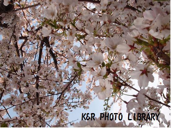 3月29日大瀬崎の桜3