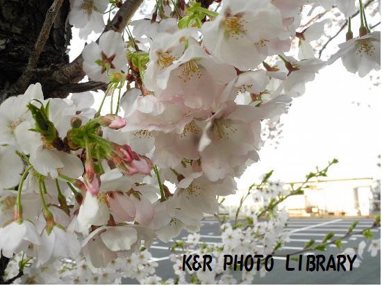 3月29日大瀬崎の桜4
