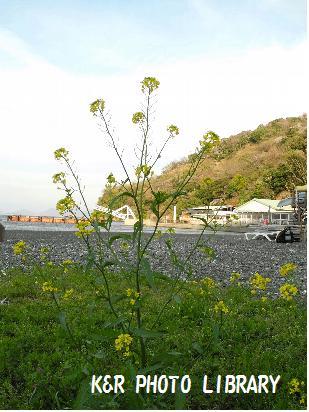 3月29日大瀬崎の菜の花