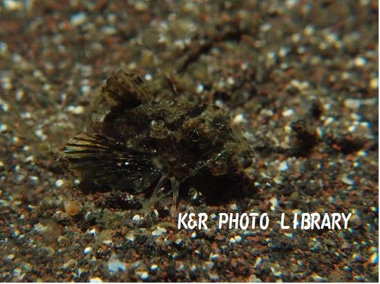 3月30日トゲカナガシラの幼魚1