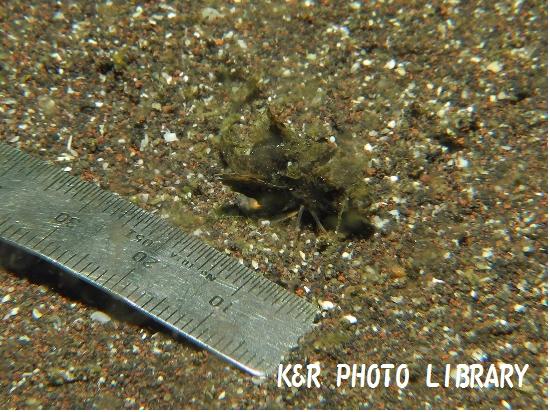 3月30日トゲカナガシラの幼魚2