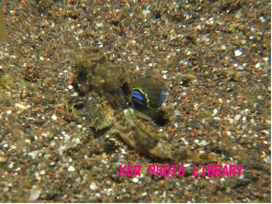 3月30日トゲカナガシラの幼魚3