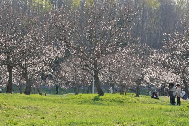 梅の花は白