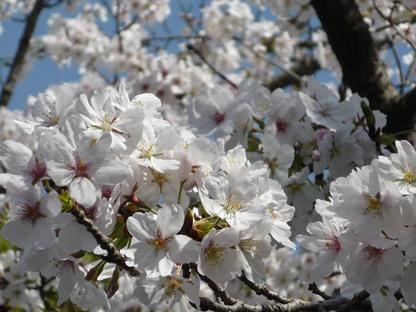 桜2014 1